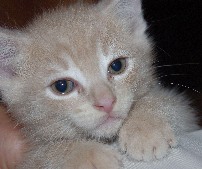 Buff Tabby Kitten Tabby Kitten Cute Animals Tabby