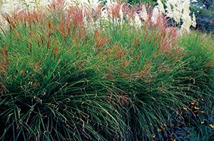 Miscanthus sinensis (dwarf varieties) - Japanese silver grass. Leaves may turn red, orange, and yellow in the fall; many varieties are available, with different leaf patterns and a range of sizes; thrives in clay soil.