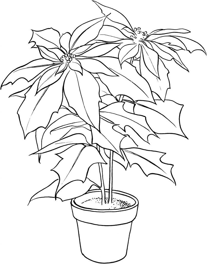 Free Printable Poinsettia Coloring Pages For Kids Flower