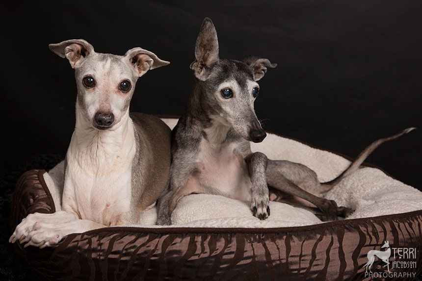 Celebrating Caleb Greyhound Italian Greyhound Animal Photography