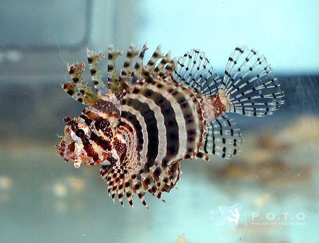 Fuzzy Dwarf Lionfish Mer Et Ocean