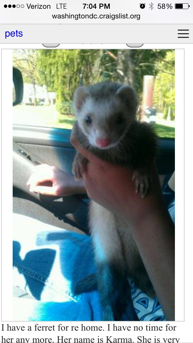 Pin By Debbie Buchanan On Omg Ferrets With Images Ferret