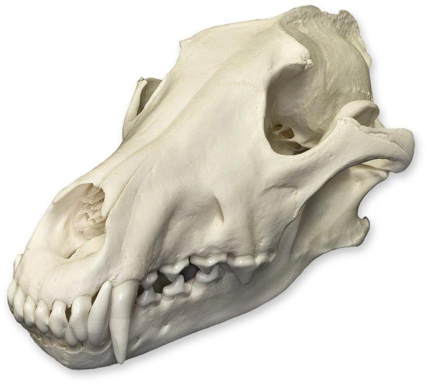 Real Gray Wolf Skull For Sale Skulls Unlimited International Inc Wolf Skull Dog Skull Animal Skulls