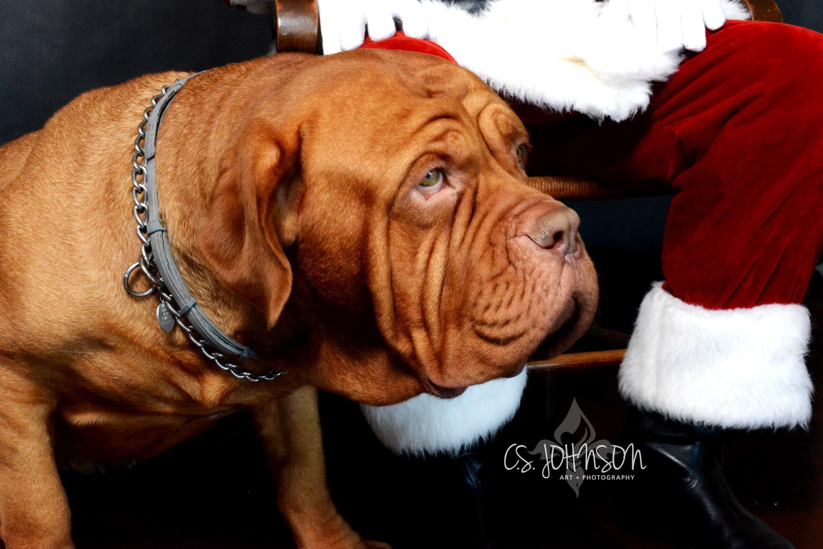 French Mastiff Santa French Mastiff Bordeaux Dog Corso Dog