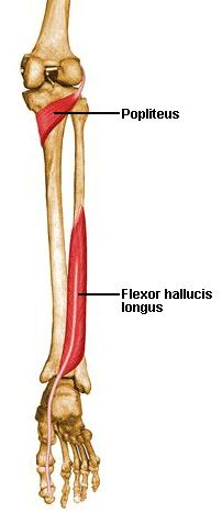 Flashcards Table on Anatomy Of Muscles   Anatomy   Pinterest ...