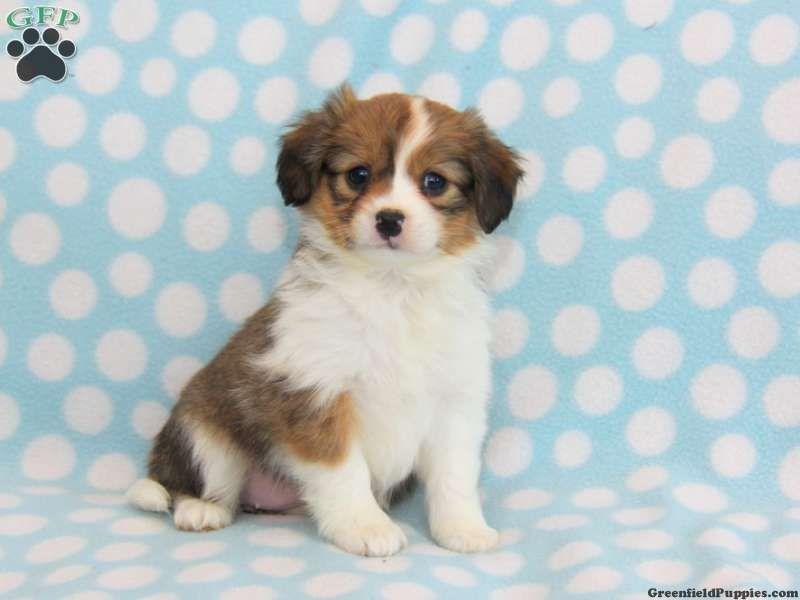 Kelly Cavapom Puppy For Sale In Stevens Pa Puppies Puppies