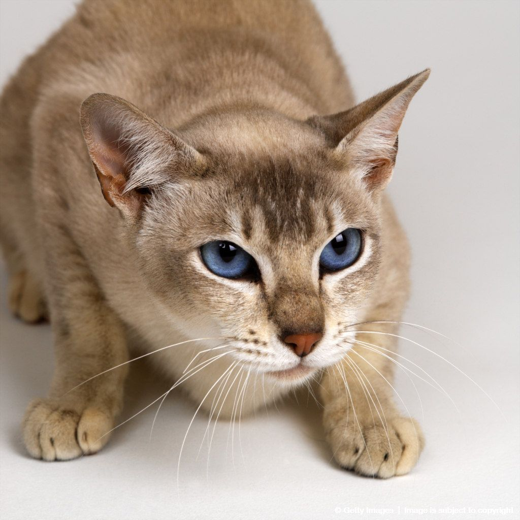 Image Detail For Tonkinese Blue Eyed Caramel Cat Tonkinese Cat Pretty Cats Cat Breeds