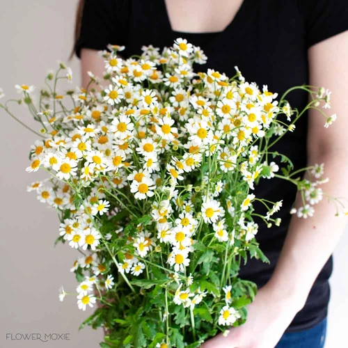 Feverfew Chamomile Daisy Diy Wedding Flowers Flower Moxie In 2020 Diy Wedding Flowers Flower Care Feverfew