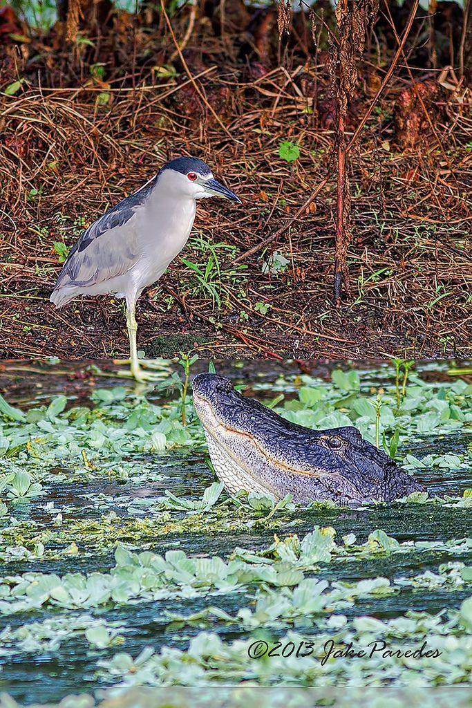Black-crowned Night Heron and bellowing Alligator