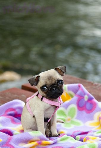 Pug Is A Small Sized Dog Breed Pugs Are Native To China Pugs Are