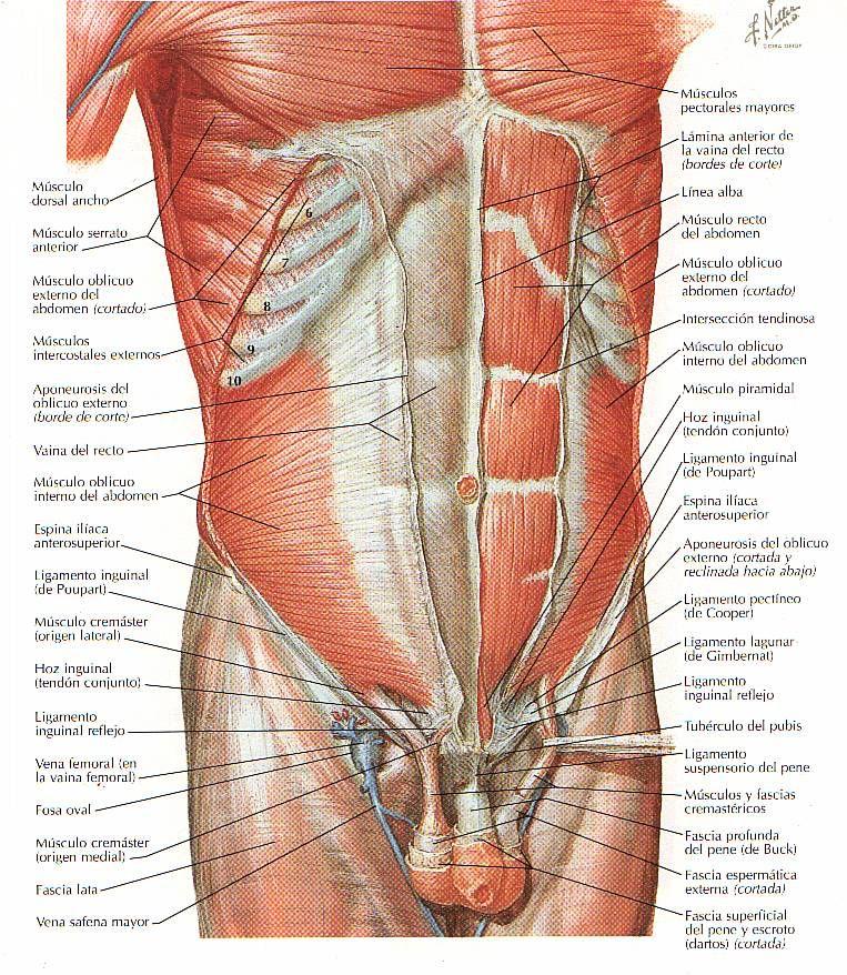 Excepcional Abdomen Cuerpo Humano Composición - Anatomía de Las ...