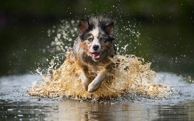 Download wallpapers Australian Shepherd, Aussie, running