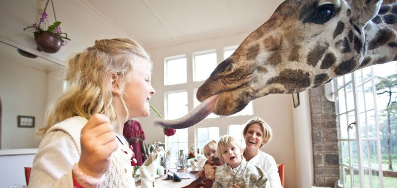 Enjoy breakfast with giraffes - at Nairobi's quirky boutique hotel Giraffe Manor.  http://www.african-wildlife-safari.com/tour/classic-safari/luxury-kenya-safari/?c=itinerary