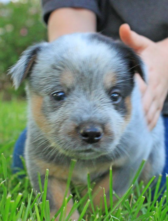 Queensland Heeler Puppy Dogs For Sale In Ventura County Southern