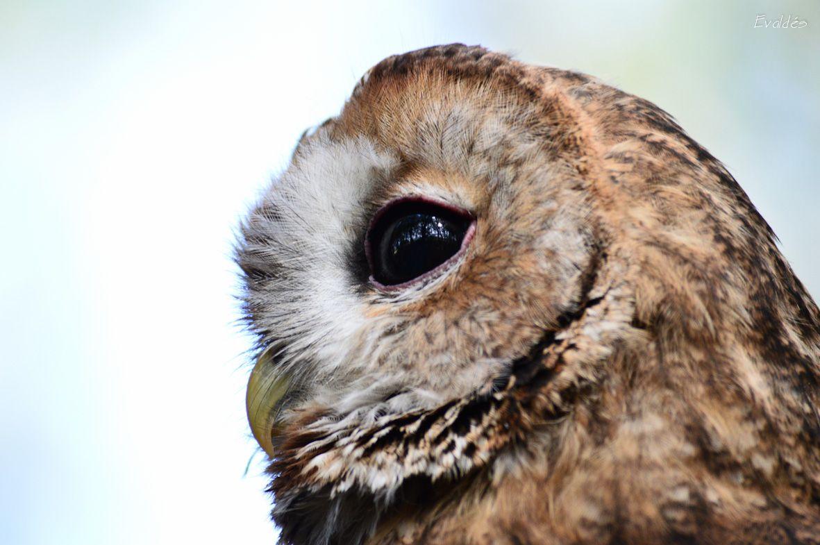 Cárabo Perla de nombre http://www.facilisimo.com/eva_en_pruebas/blog/fotografia/general/sesion-fotografica-aves-rapaces_1216480.html