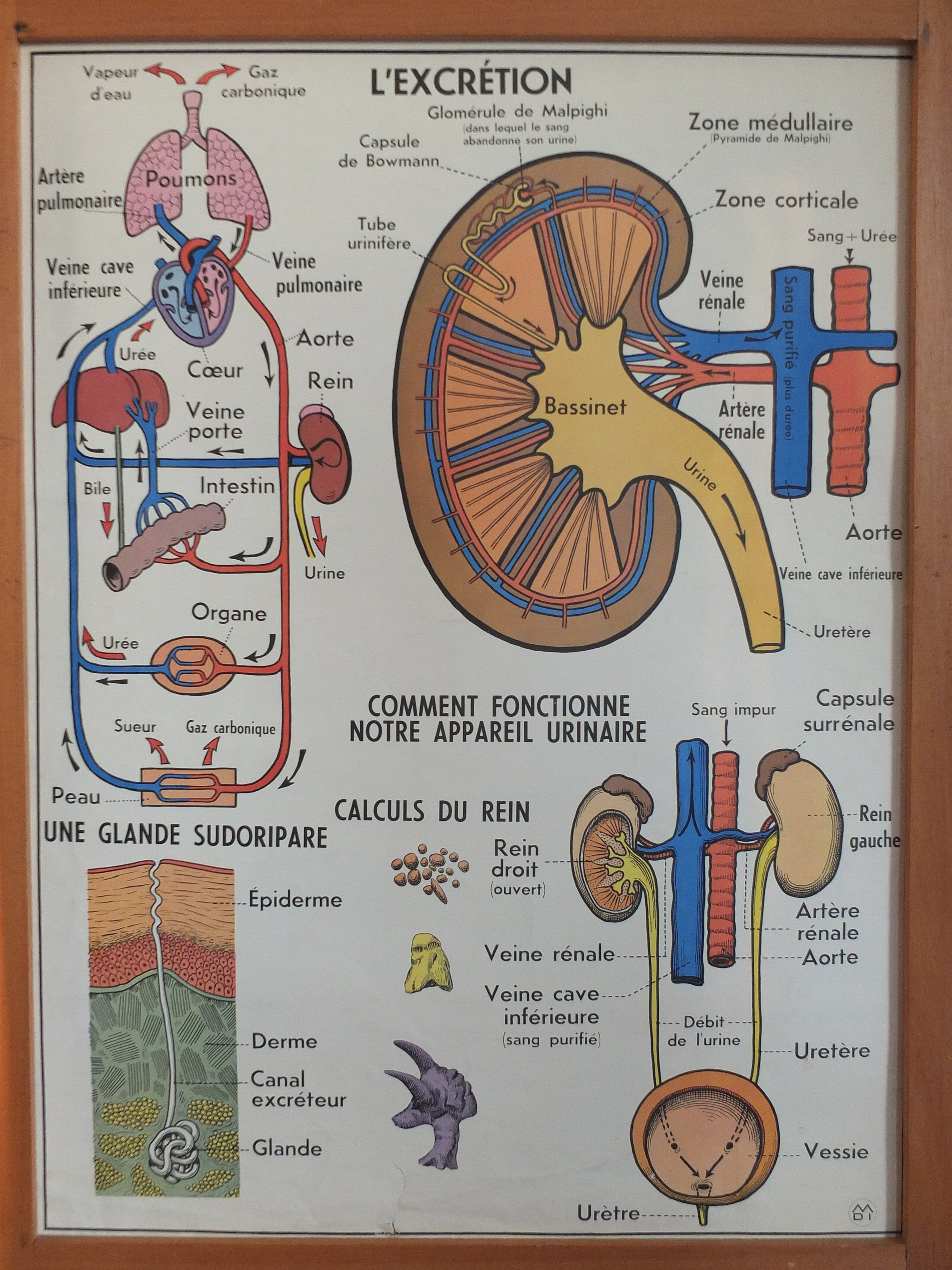 Vintage French school poster kyphosis scoliosis excretion