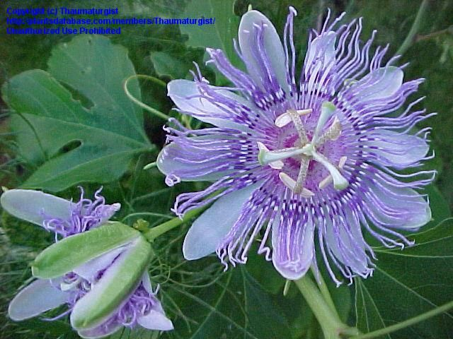 Passion Flowers For Sale Passion Flower Passionflower Passionvine Passion Vine Passifl Florida Native Plants Native Plants Backyard Garden Landscape