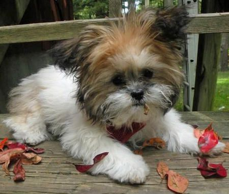 Teacup Shih Tzu someone give my special someone this is