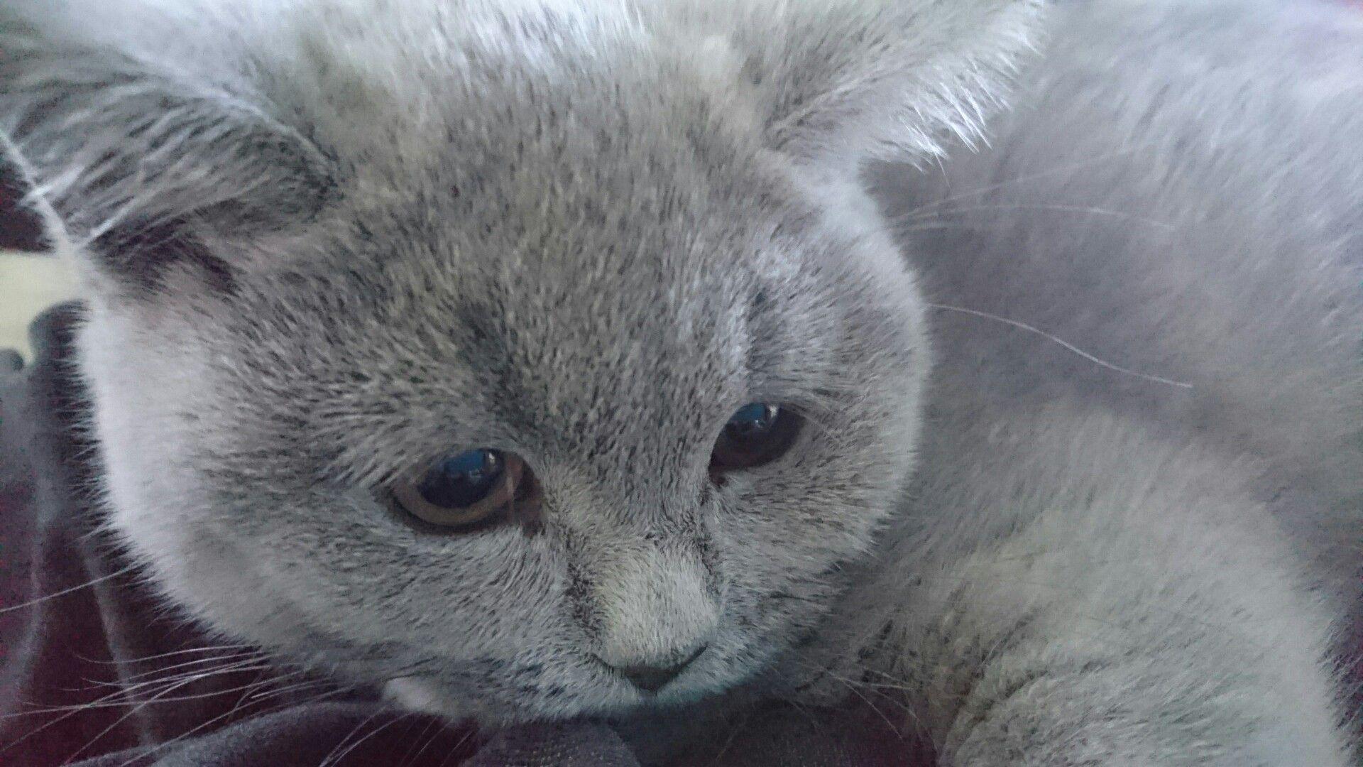 Boris the cat - British Short Hair kitten