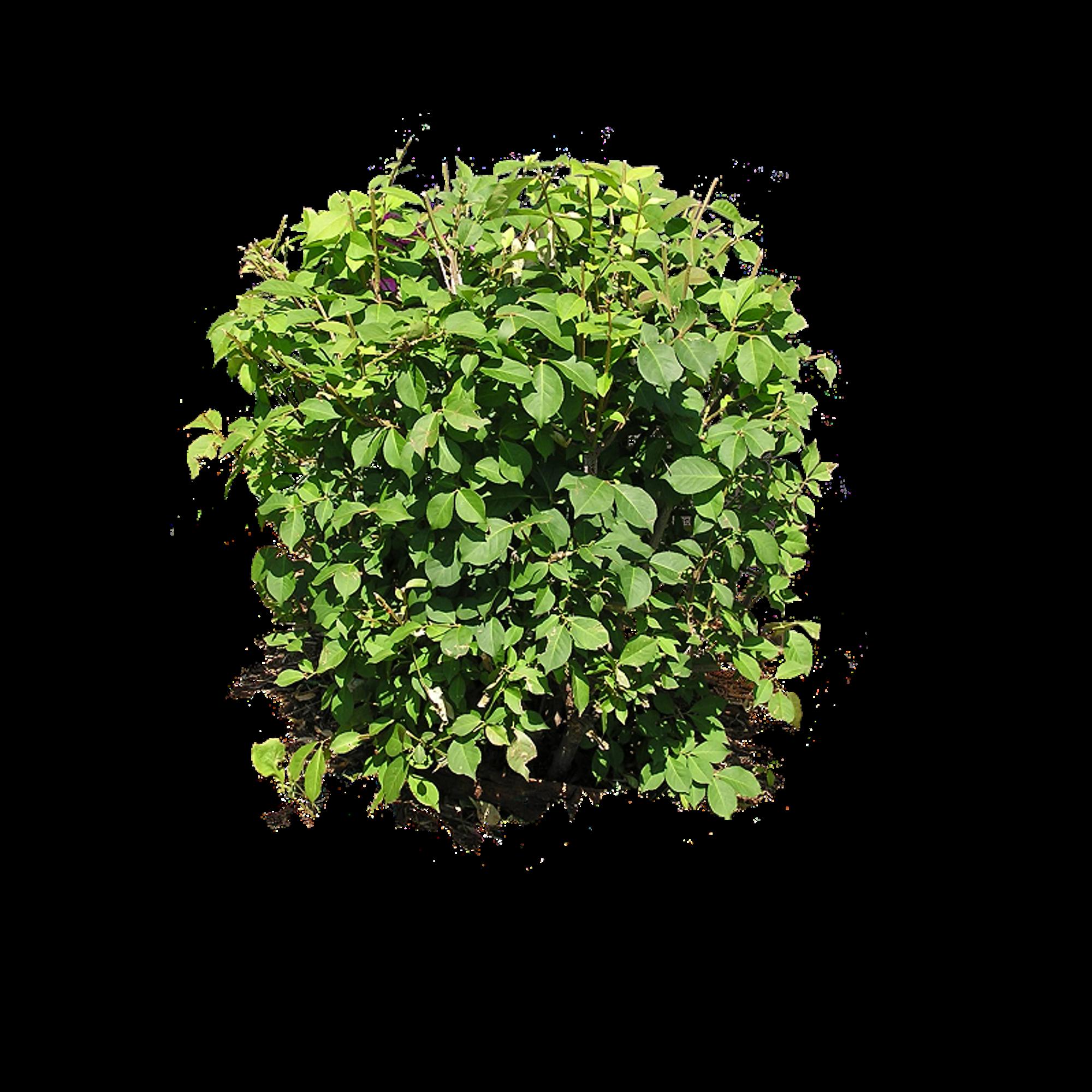 Bush plant PNG image | montage | Pinterest | Bush plant
