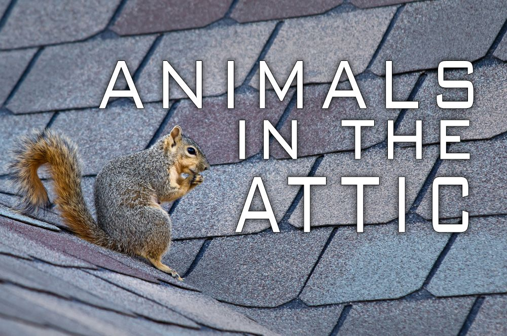 Rats Squirrels And Birds Oh My How Often Do You Check Your Attic Or Roof For Signs Of Pests Recognize The Signs And Put A Stop To T Attic Animals Squirrel