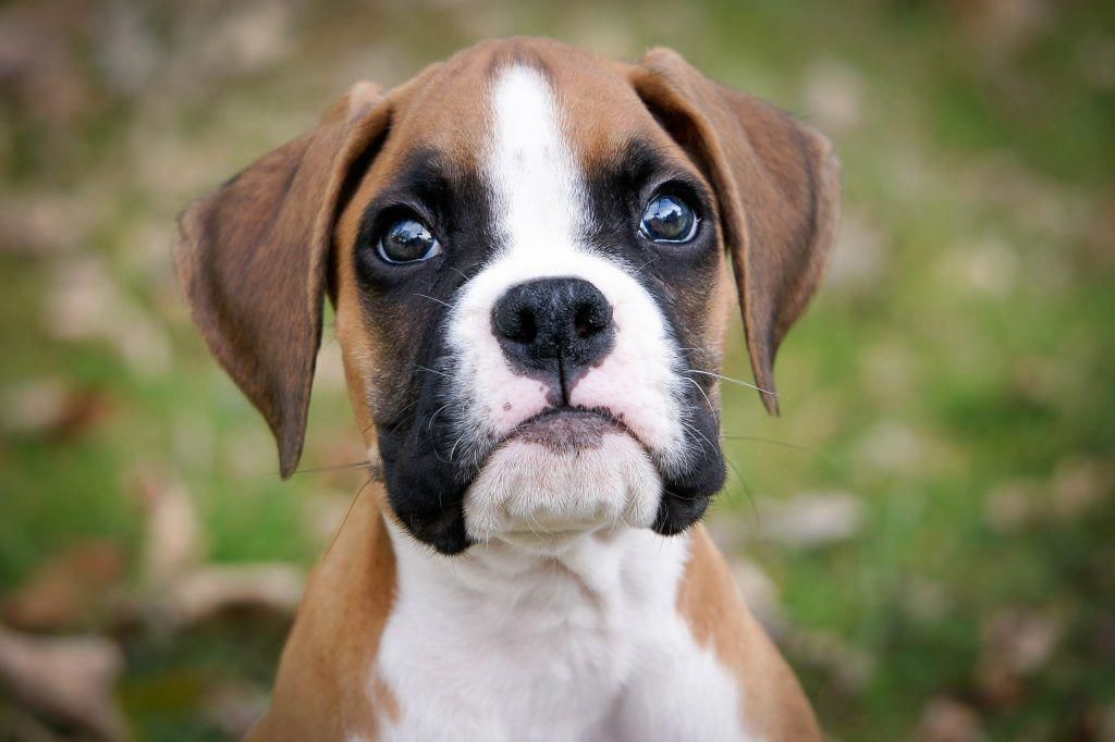 Boxer Puppy Boxer Puppies Boxer Puppies For Sale Boxer Dogs