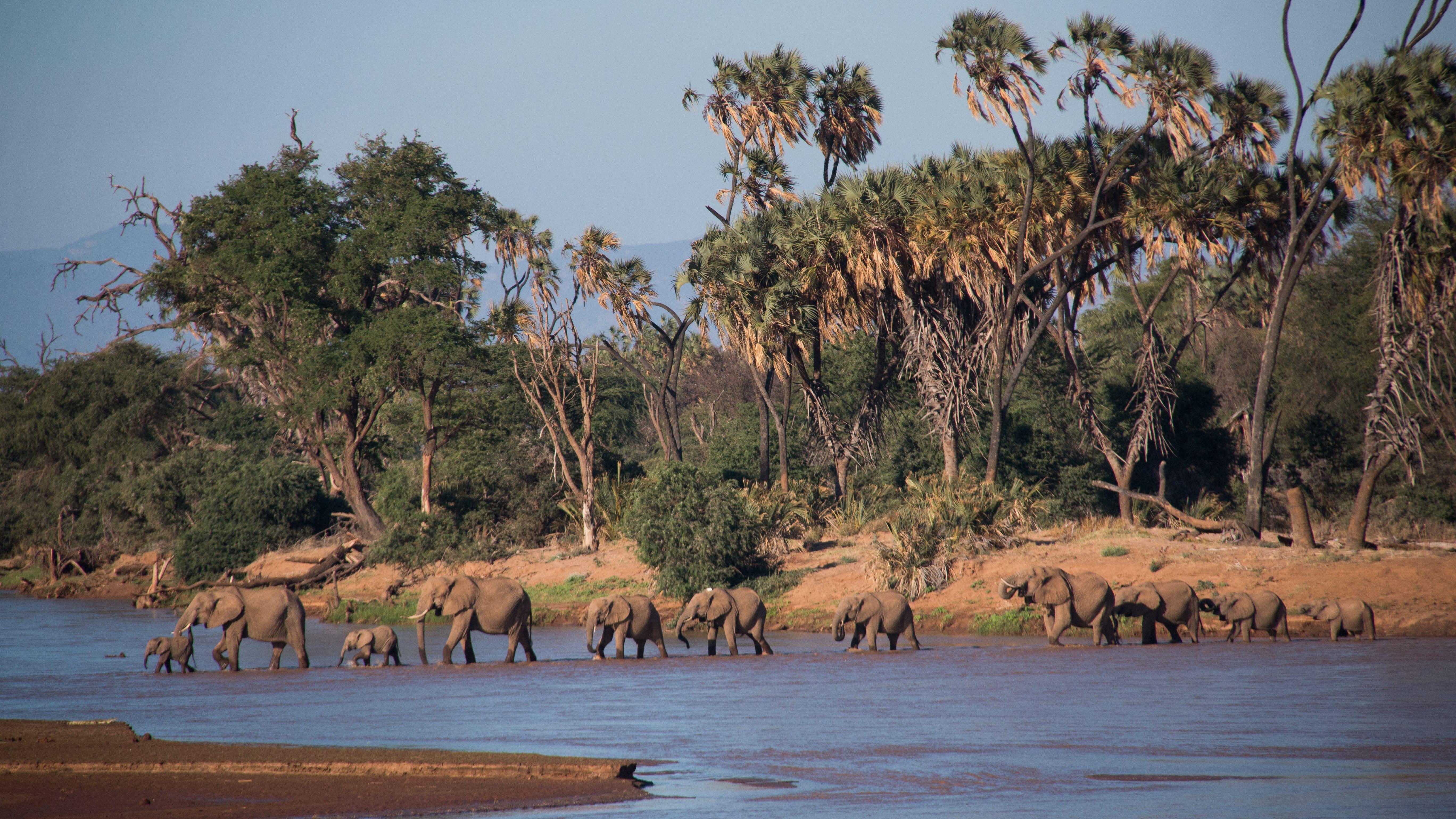 Herd of elephant walking along the river - Samburu Kenya