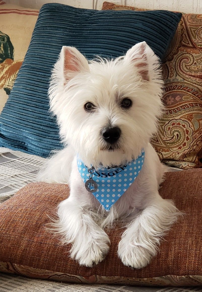 Pin by Connie Richardson on Westies Westie puppies