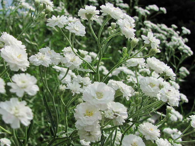 белые садовые цветы названия и фото частности, сообщалось, что