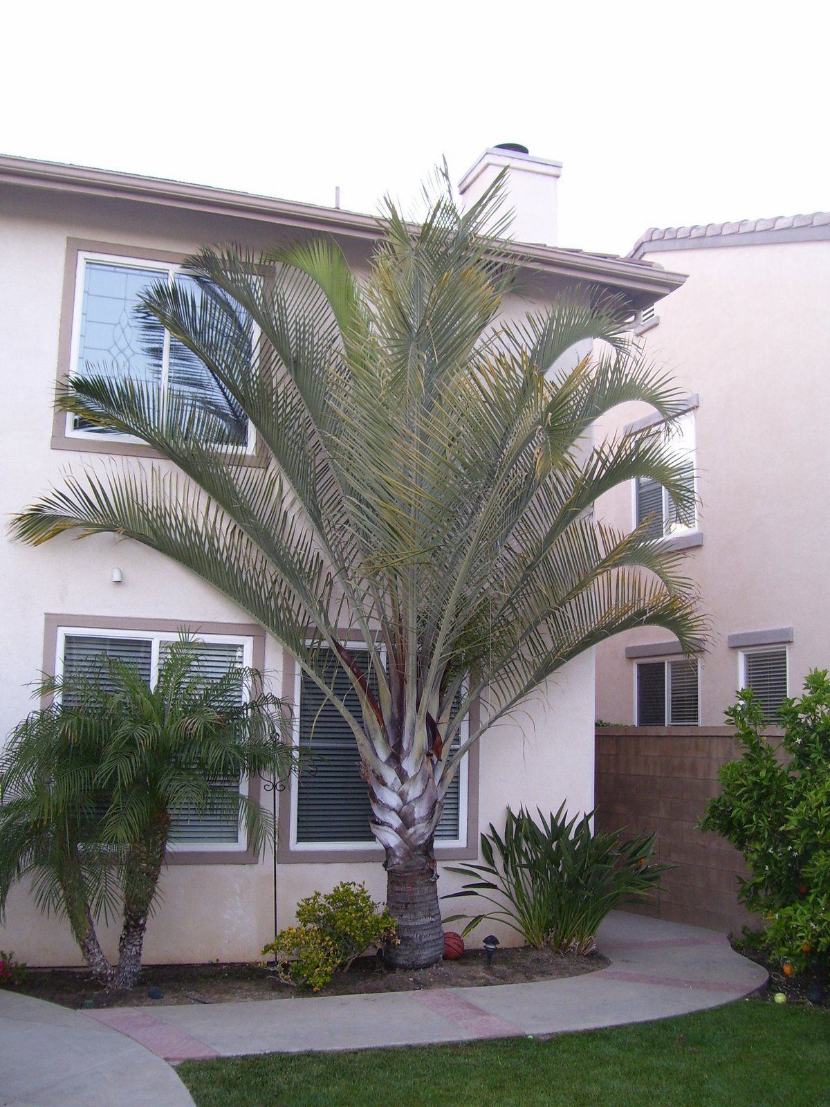 The Triangle Palm Tree , scientific name Dypsis decaryi , is a ...