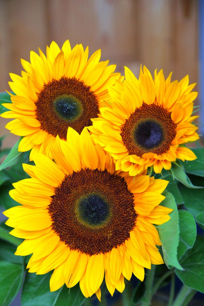 Sunflower Portrait Happy Mothers Day Messages Mother Day Message Happy Mothers