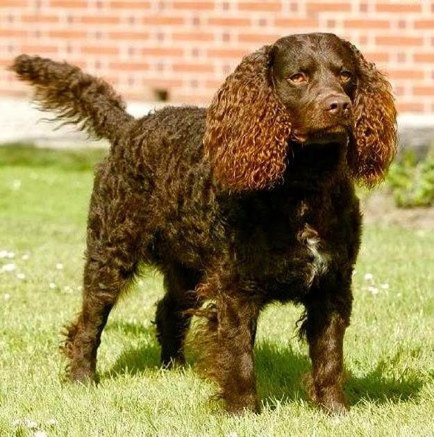 Are American Water Spaniel Dogs Hypoallergenic American Water Spaniel Dogs And Puppies Dog Breeds Journal American Water Spaniel Dog Breeds Spaniel Dog