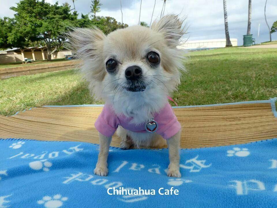 Mimi Chihuahua Cafe On Facebook Cute Chihuahua Chihuahua Love Chihuahua Dogs