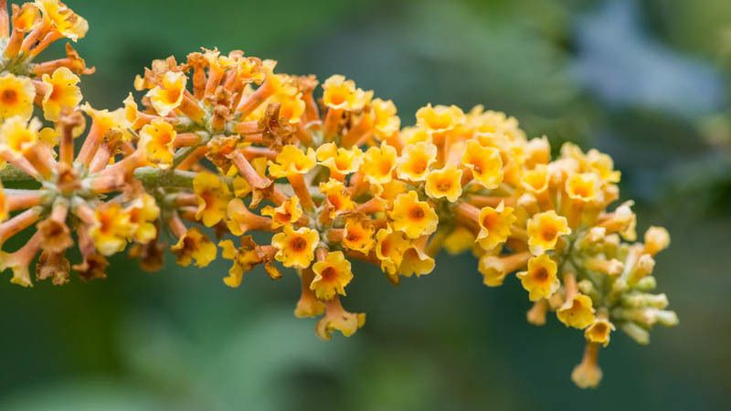 Buddleja Honeycomb Butterfly Bush V Summer Lilac Honeycomb Deciduous Shrub Yellow Flowers Fragrant Butterfly Bush Magenta Flowers Bigleaf Hydrangea