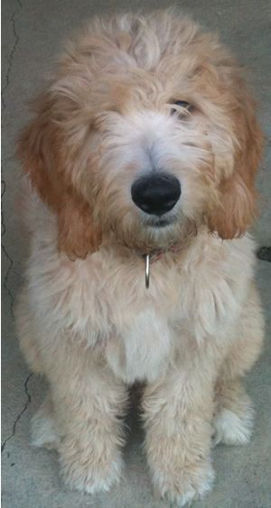F1 Standard Goldendoodle Puppies For Sale, Poodle crossed