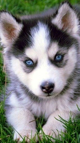 Pin By Sam Macisaac On Want Cute Husky Puppies Husky Puppy Pomeranian Husky Puppies