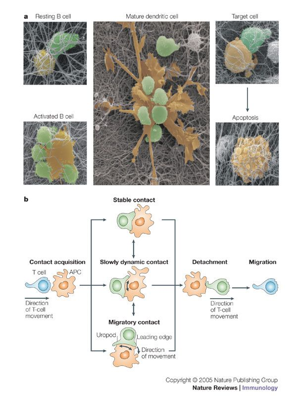 Tuning immune responses: diversity and adaptation of the immunological synapse
