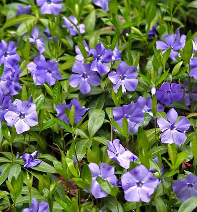 Obľúbená vždyzelená pôdopokryvná trvalka s modrými kvetmi.