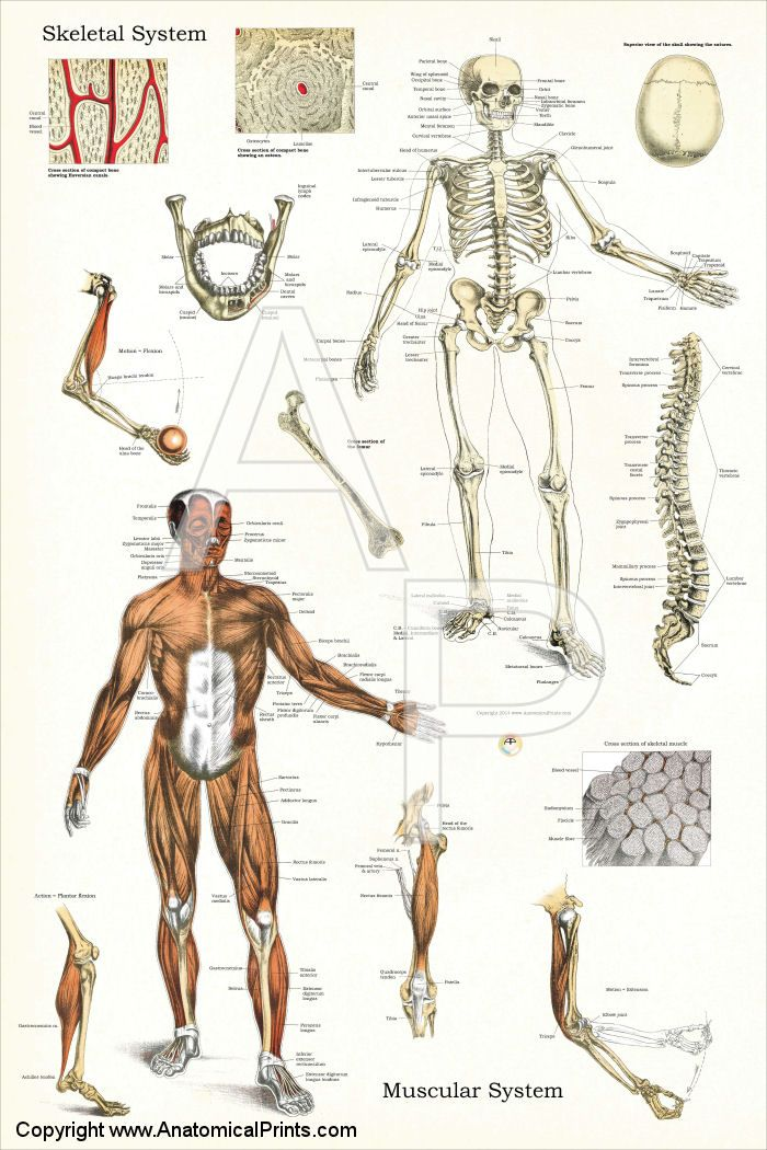 Skeletal and Muscle Anatomy Poster - 24\