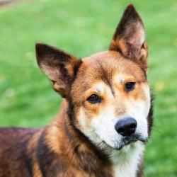 Gavin Cl Is An Adoptable Shepherd Dog In Independence Mo You
