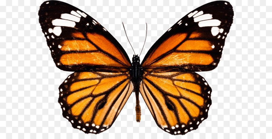 Monarch Butterfly Drawing How To Draw And Sketch Butterfly Png Image Butterfly Drawing Monarch Butterfly Tattoo Butterfly Tattoo