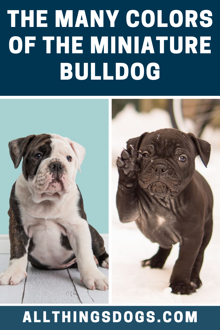 Usually the Miniature Bulldog color is a combination of