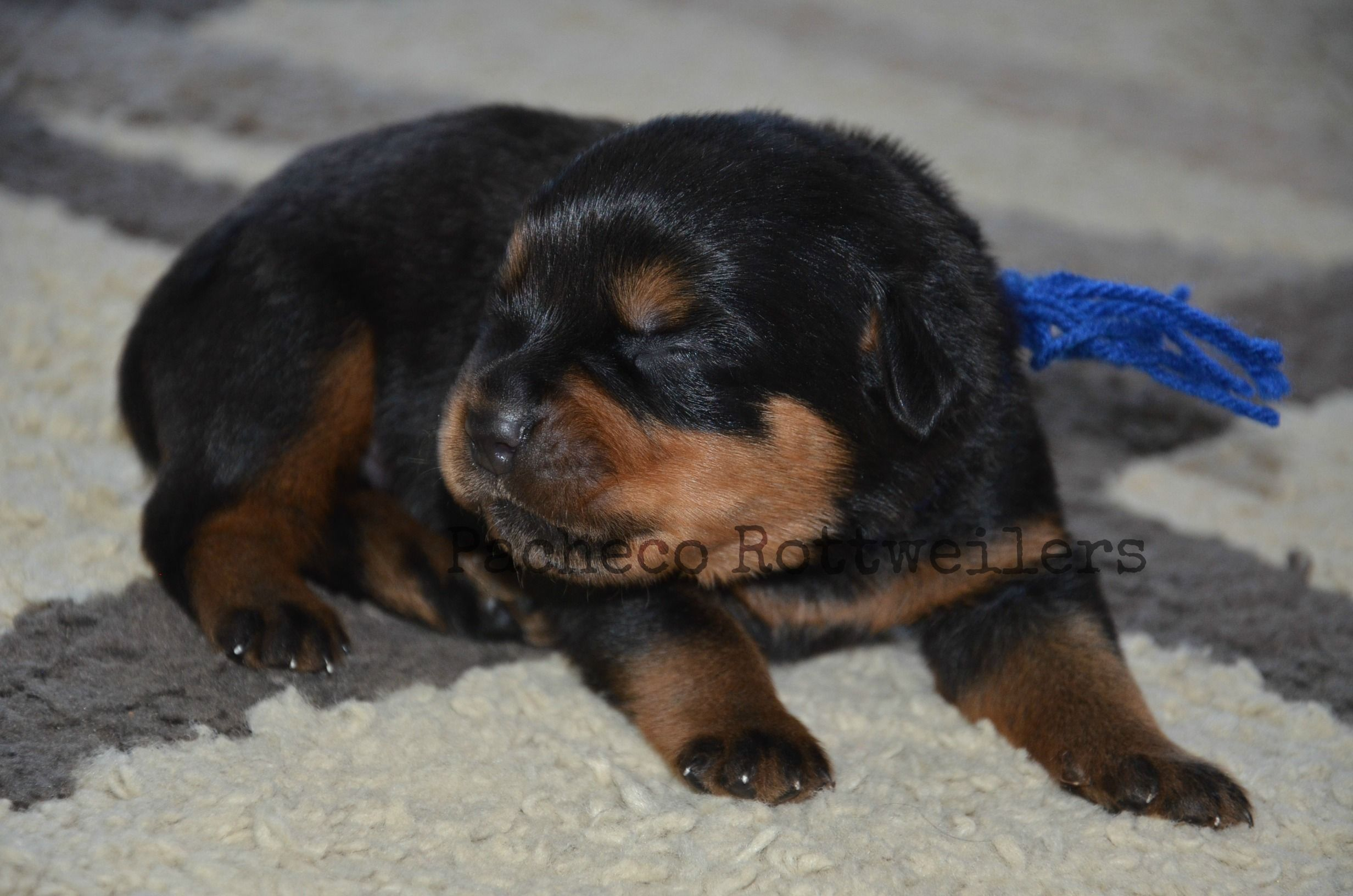 8 Days Young Blue Male Pacheco Rottweiler Puppy Family