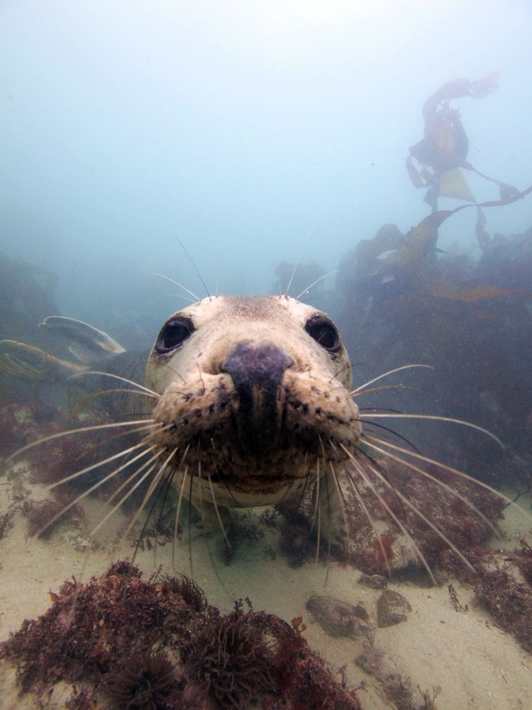 scilly seal 1   by northcornwallnt