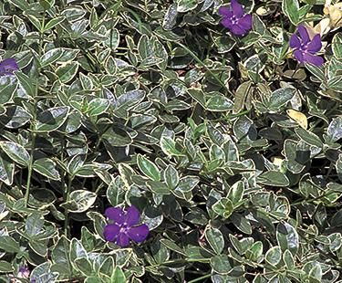 Creeping Myrtle Is One Of My Favorite Ground Covers But I Would Have To Look