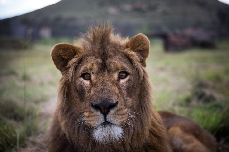 Lions Rescued From Syria And Iraq Given New Lease Of Life At Animal Sanctuary Animal Sanctuary Cat Sanctuary Animal Conservation