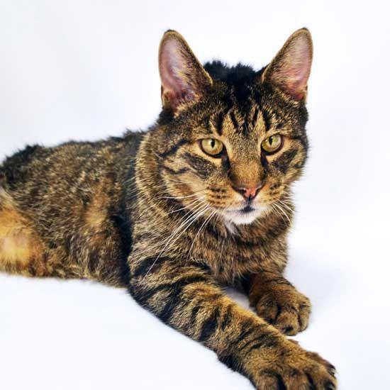 Adopt A Pet Cat Adoption Animals Pets
