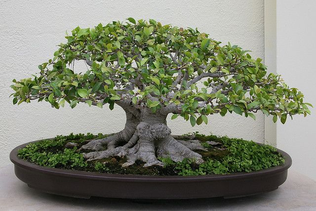 Latin Name Ficus Microcarpa Other Common Names Laurel Fig Rubber Indian