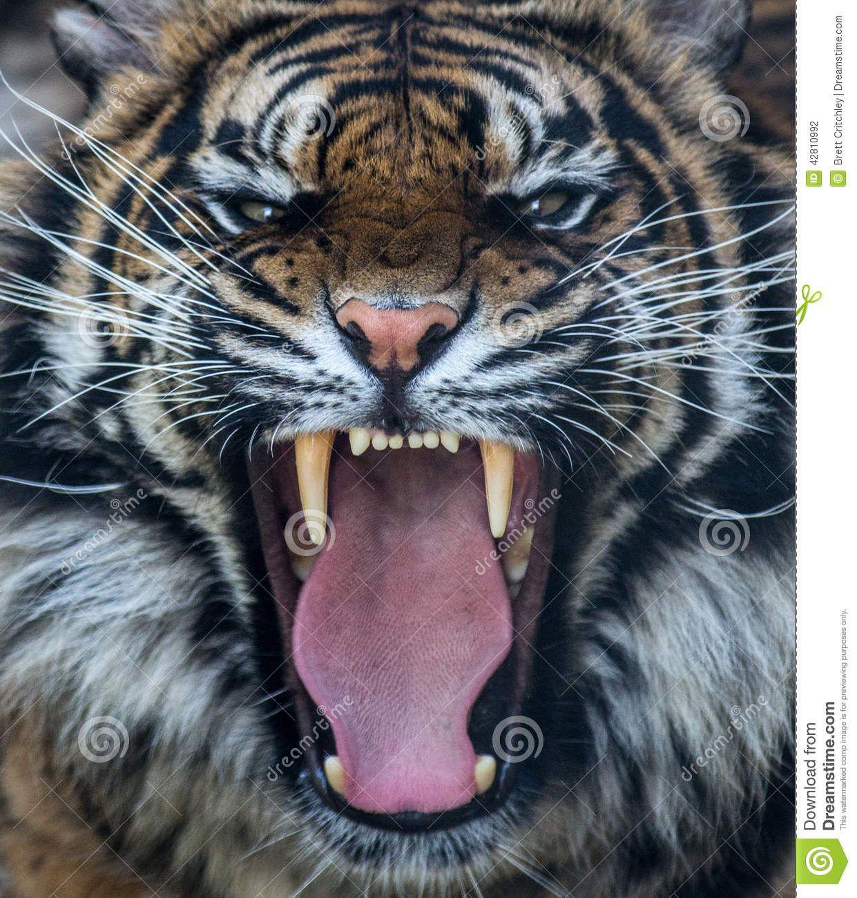 Angry Lion Wallpaper Hd 1080p Sumatran Tiger Roar Leo Tiger Roaring Endangered