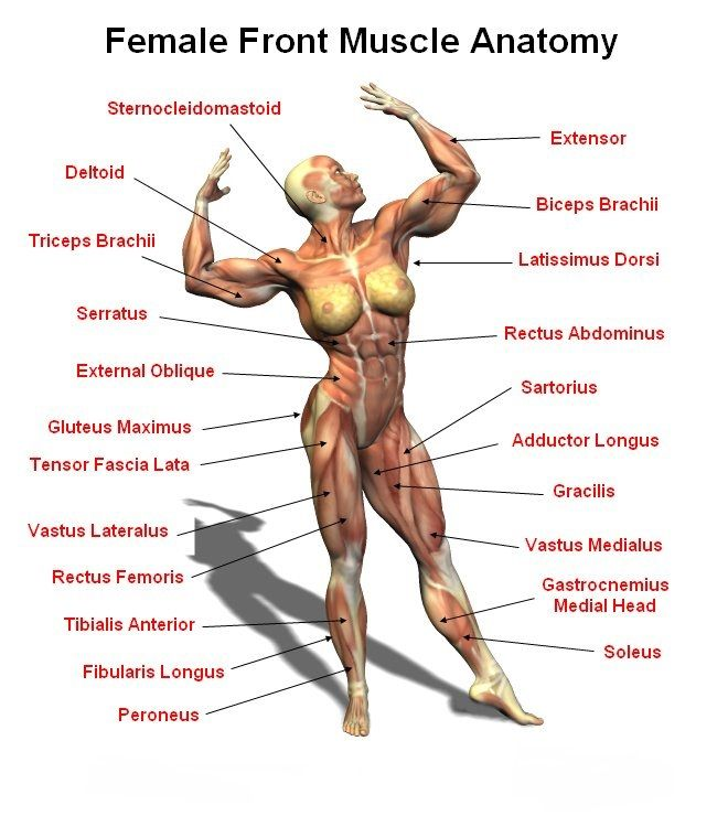 Female Front Muscle Anantomy | Workout Illustrations | Pinterest ...